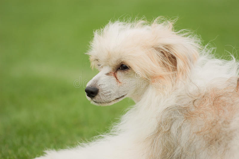 Chinese kuifhond royalty-vrije stock afbeelding