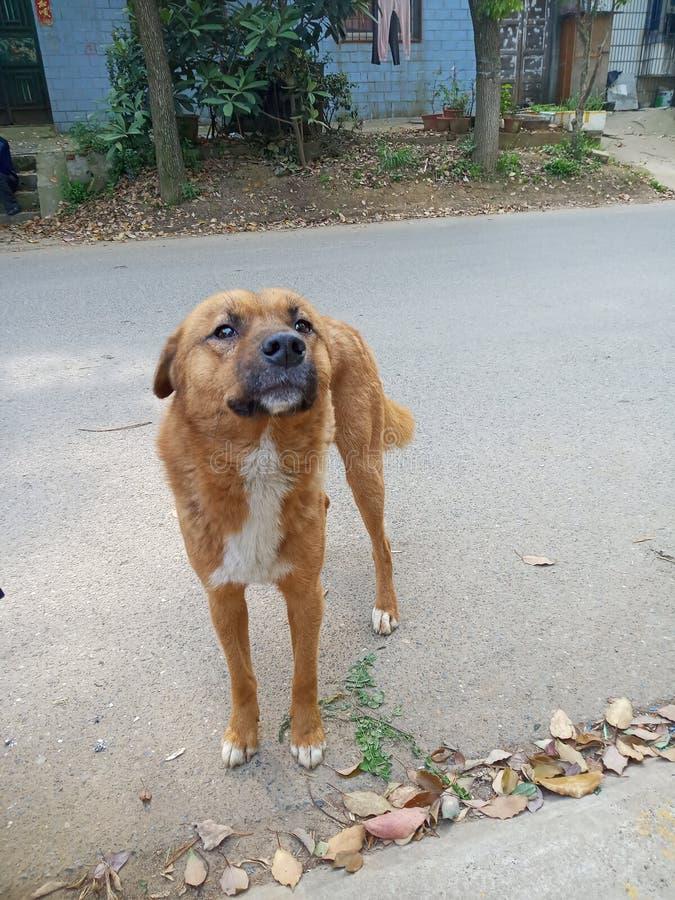 Chinese landelijke hond royalty-vrije stock fotografie