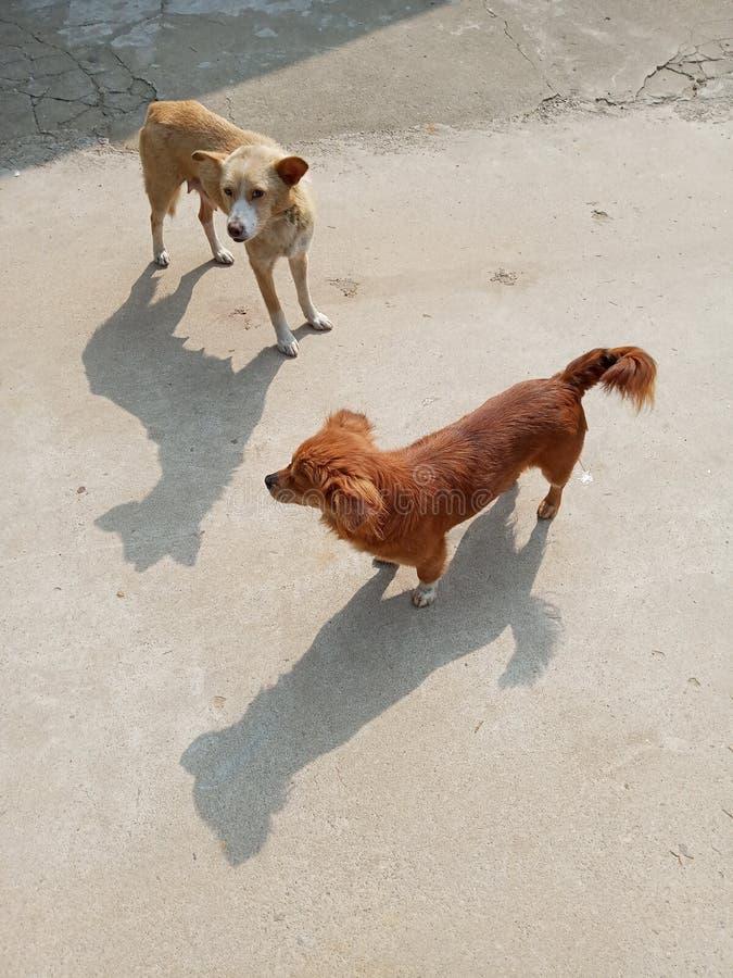 Chinese landelijke hond royalty-vrije stock afbeelding