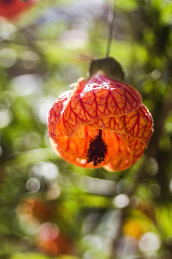 Chinese lantern. Name Popular- Abutilon, princess earring, Chinese lantern.and this beautiful flower and comestible, and can be served in mixed salads with other stock photos