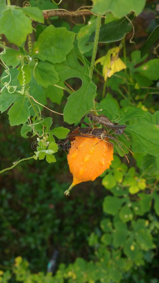 Chinese lantern. Orange fruit and green leaves of a nuisance plant royalty free stock photography