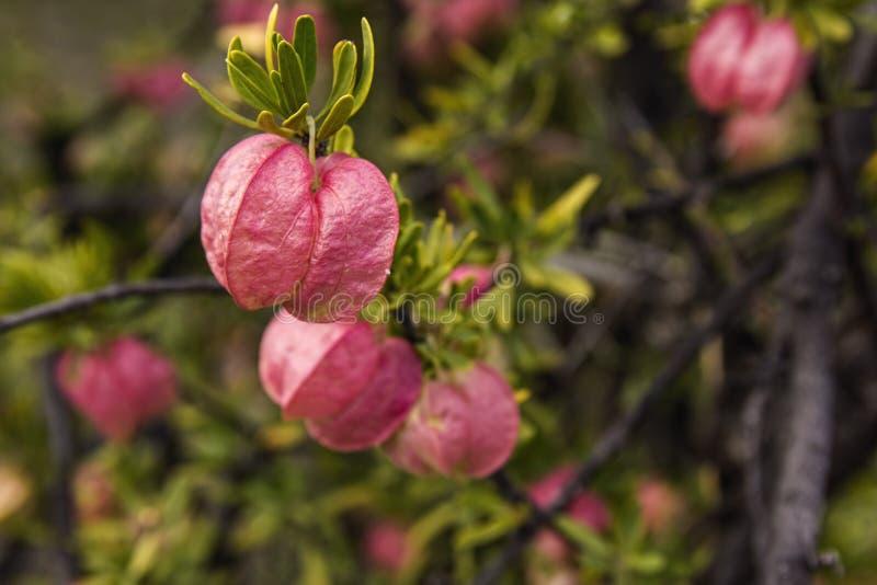 Chinese Lantern pink flowers royalty free stock image