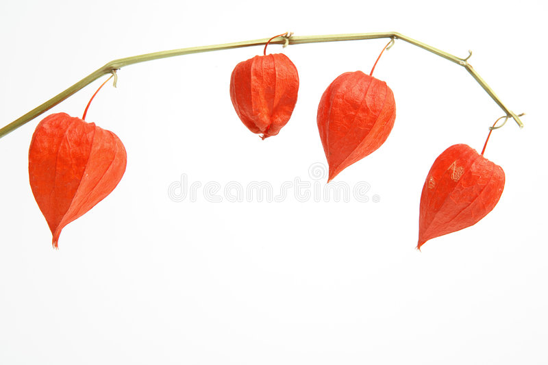 Chinese Lanterns (physalis) stock photo