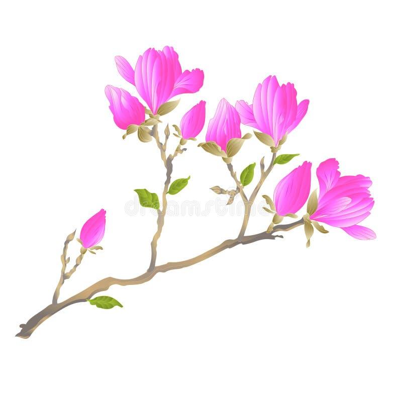 Chinese magnolia bloeiende bloemen en knoppen met het kruid van de bladeren botanische lente uitstekende vector editable illustra royalty-vrije illustratie