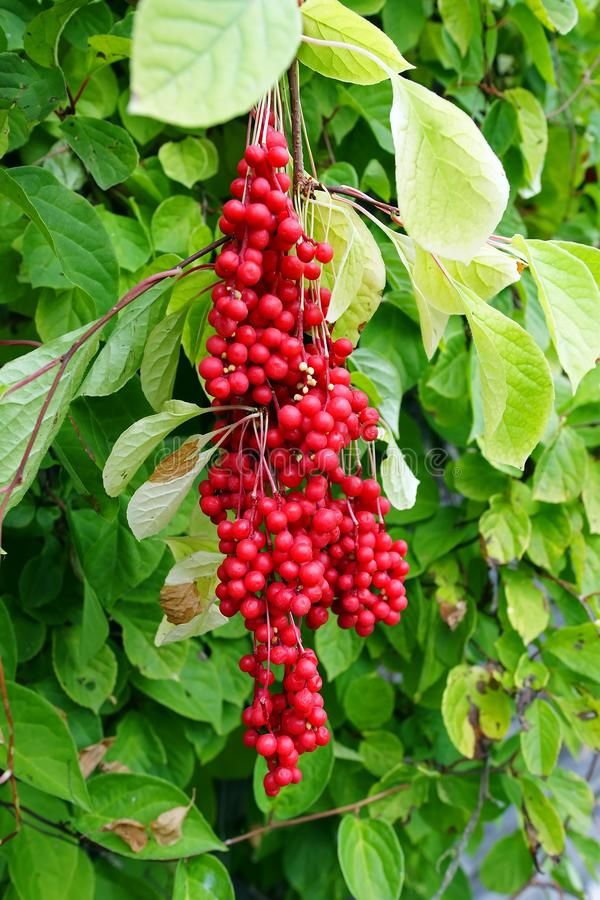 Free Chinese Magnolia Vine Stock Images - 127864844