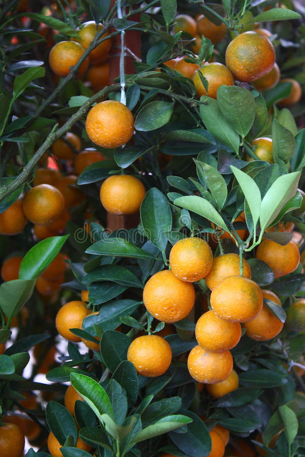 Free Chinese Mandarin Orange Stock Photos - 13298093