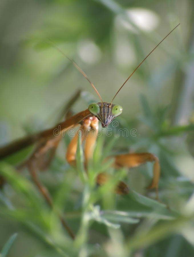 Chinese Mantis. Tenodera aridifolia sinensis, Checking Me Out Big Time stock photography
