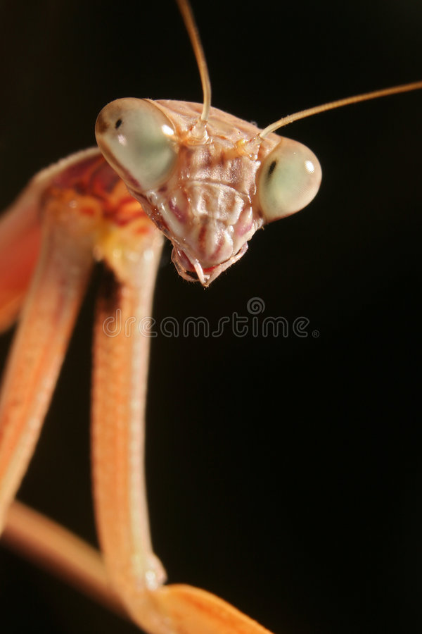 A Chinese Mantis (Tenodera aridifolia sinensis). A close-up image of a A Chinese Mantis (Tenodera aridifolia sinensis) head and forearms stock image