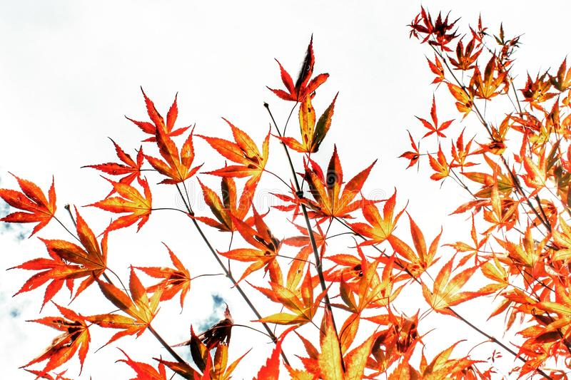 Chinese maple royalty free stock photography