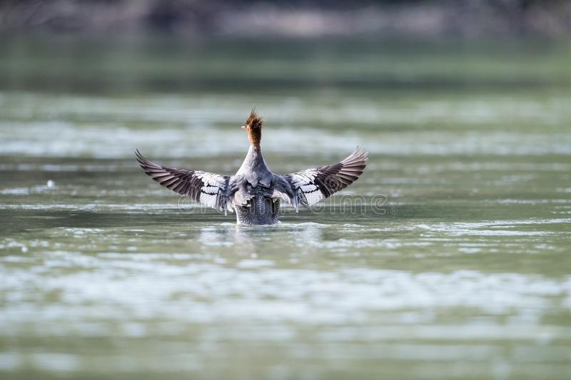 Chinese merganser spread royalty free stock photography