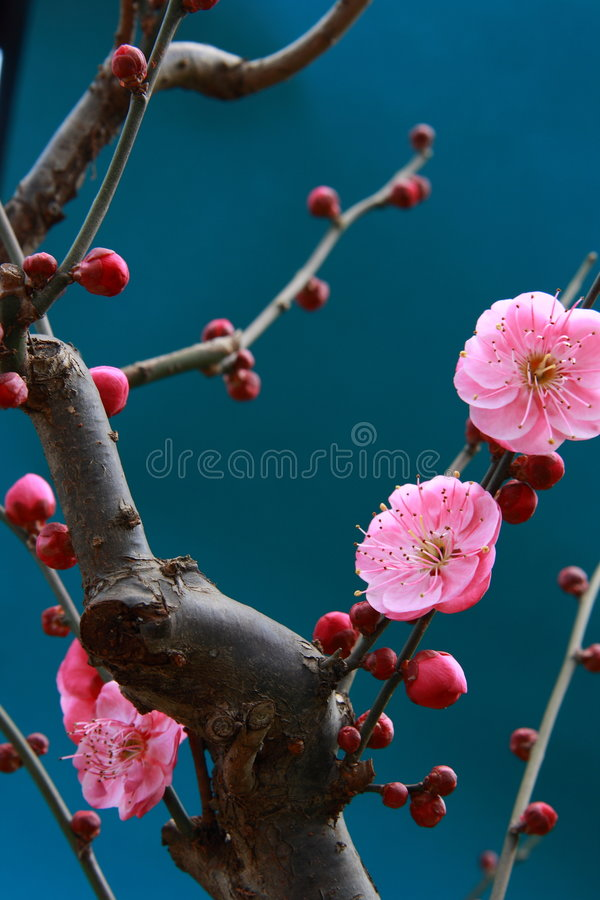 chinese mume plum 库存照片