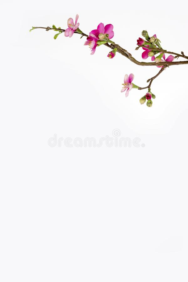Chinese new year cherry blossom branch border on white background royalty free stock photos