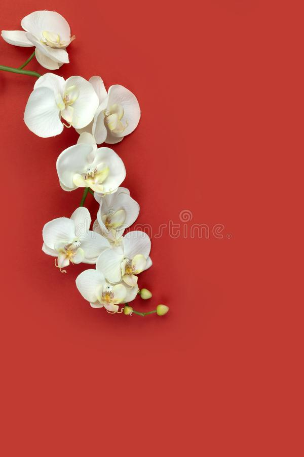 Chinese new year oriental white orchid on red paper background stock images