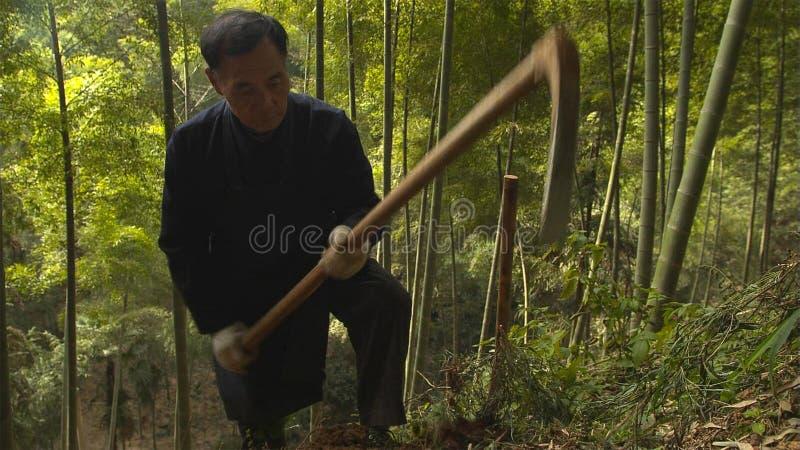 Chinese old man manually finding and digging bamboo shoots growing in mountain.Yunnan. China. Jun,2012 royalty free stock photography