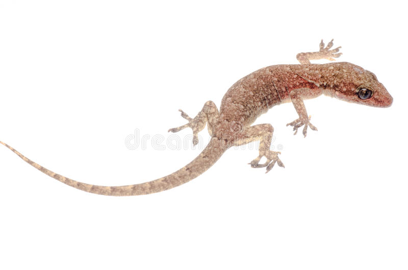 Chinese Oriental leaftoed gecko royalty free stock photography