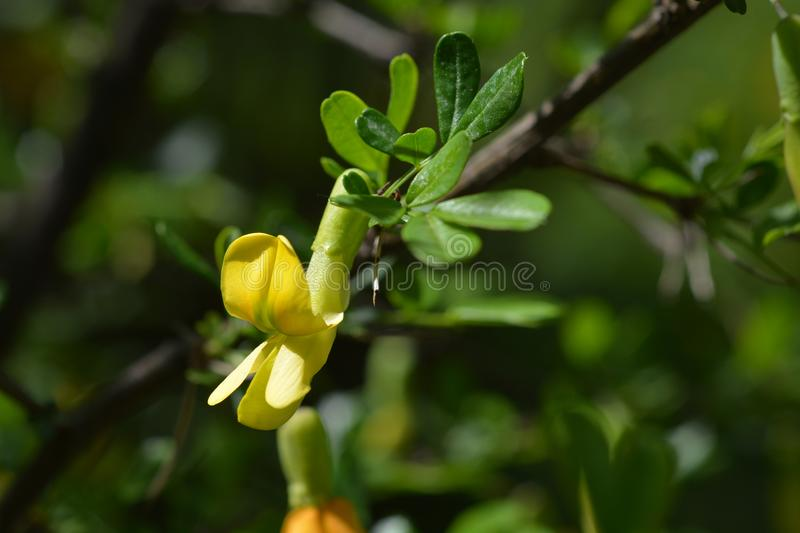 Chinese pea shrub. Yellow flower - Latin name - Caragana sinica royalty free stock images