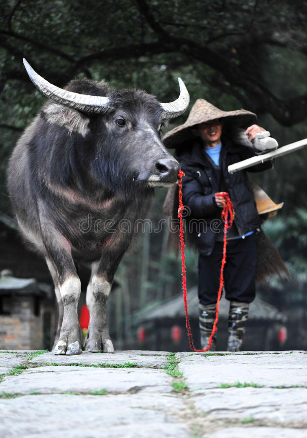 Download Chinese Peasant With Farm Cattle Editorial Stock Photo - Image: 24052158