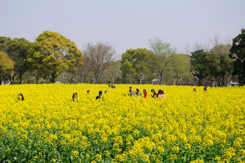 Chinese people walking through a field of yellow flowers stock photo