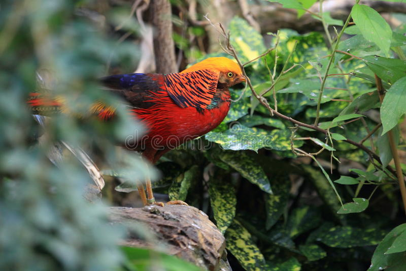 Chinese pheasant. Standing on the rock royalty free stock photo