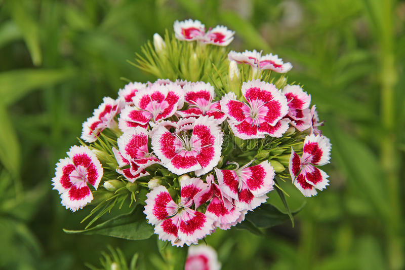 Download Chinese pink stock image. Image of garden, colored, carnation - 25319545