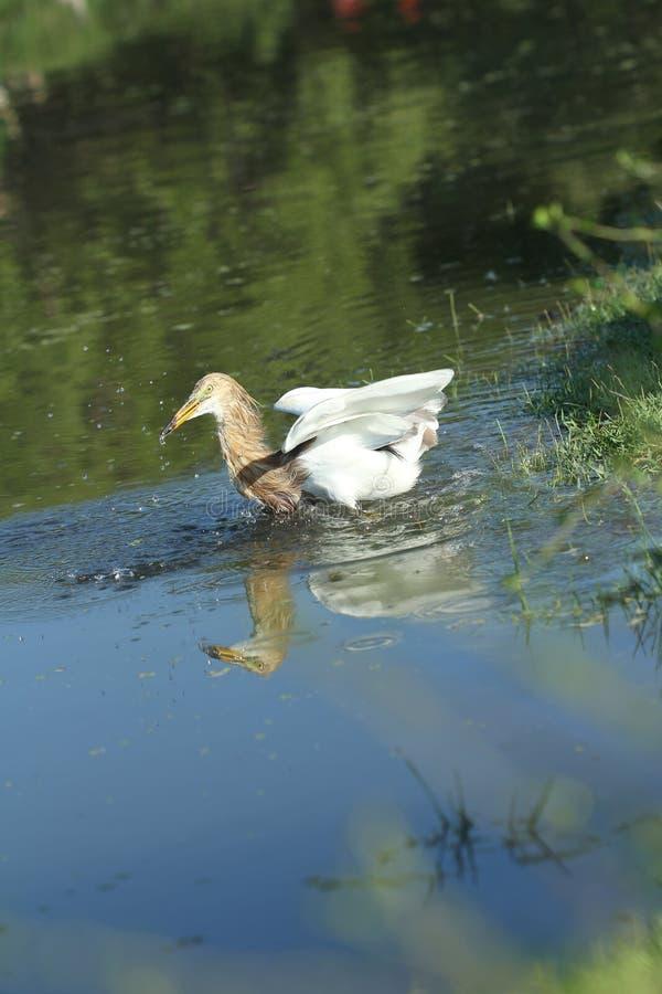 Download Chinese Pond Heron Bird stock image. Image of yellow - 24334917