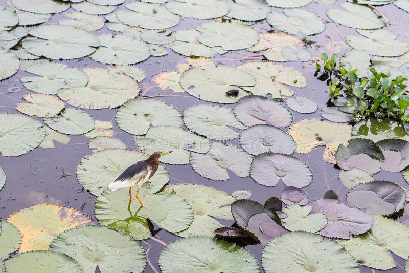 Chinese pond heron at Thale Noi stock photo