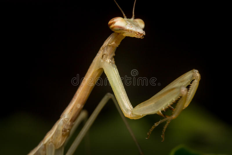 Chinese Praying Mantis. Close up macro Chinese praying mantis insect nymph royalty free stock photo