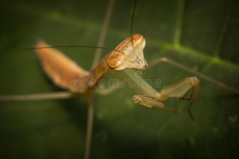 Chinese Praying Mantis. Close up macro Chinese praying mantis insect nymph royalty free stock image