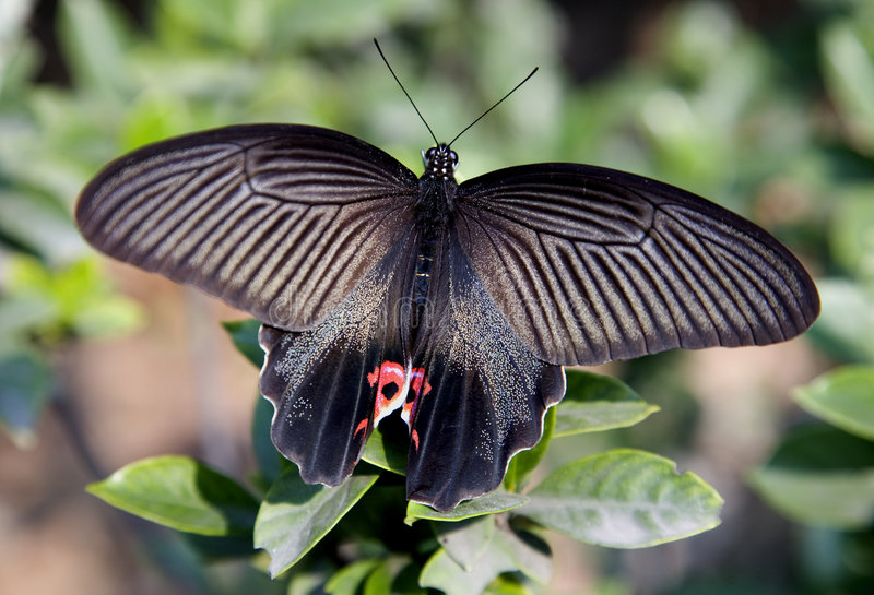 Chinese Red and Black Butterfly Macro stock photography