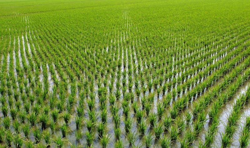 Chinese Rice Paddies stock photography