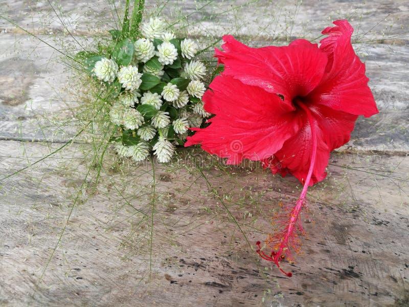 Chinese rood nam HibiscusHibiscus-rosa-sinensis toe Rode Hibiscusbloem op houten lijst stock afbeelding