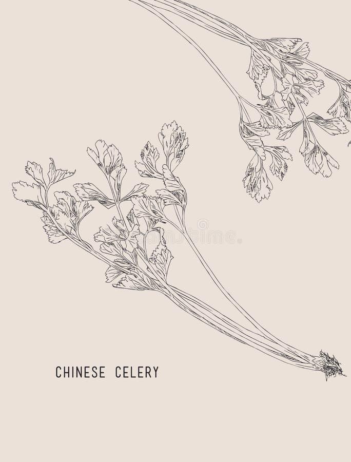 Chinese selderie, schetsvector vector illustratie
