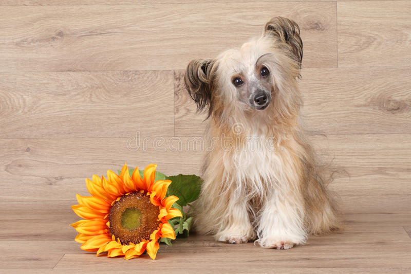 Chinese shaggy crested dog. With sunflower on wooden background royalty free stock image