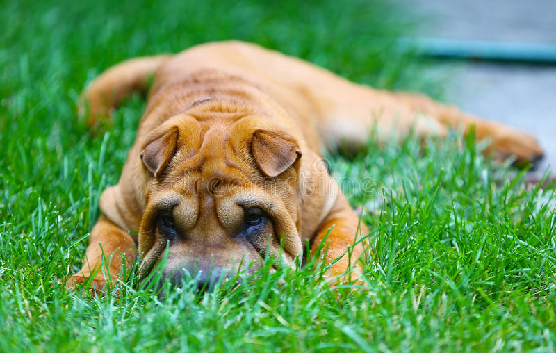 Chinese Sharpei puppy playing in the gsass stock image