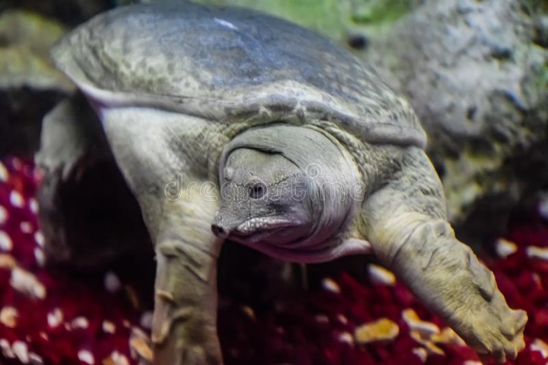 Chinese softshell turtle. A Chinese softshell turtle a Pelodiscus sinensis stock photos