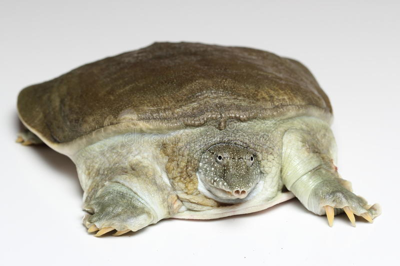 Chinese softshell turtle (Pelodiscus sinensis) on white. Background stock image