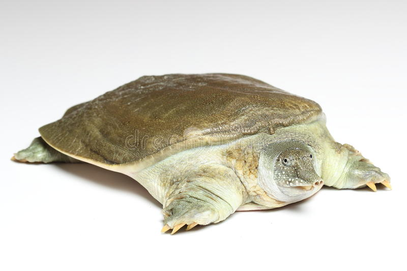 Chinese softshell turtle (Pelodiscus sinensis) on white. Background royalty free stock photos