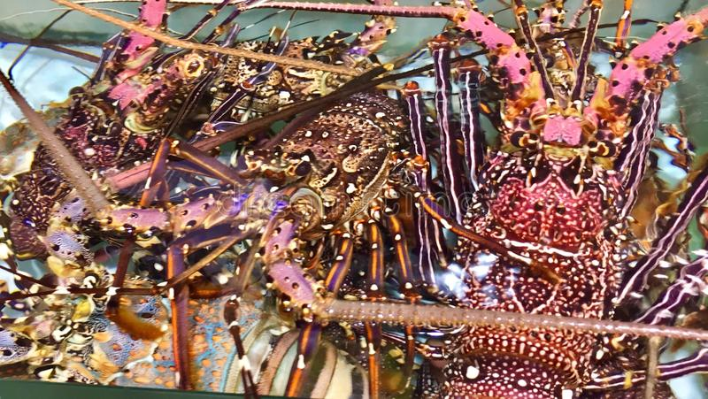 Chinese spiny lobster royalty free stock image