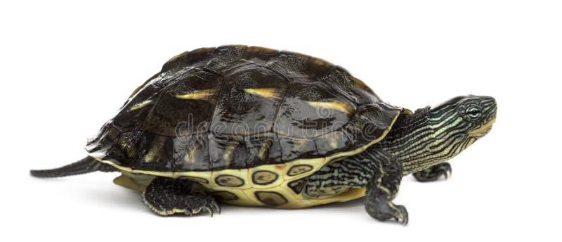 Chinese streep-necked schildpad, Ocadia-sinensis, in F stock afbeelding