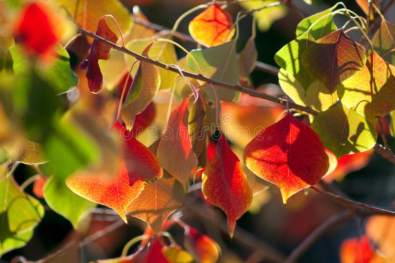 Chinese Tallow Leaves royalty free stock photos