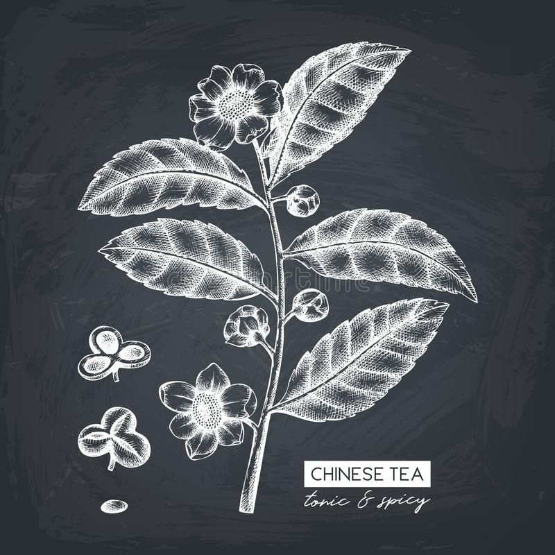 Botanical illustration of Camellia sinensis in flowers and leaves. Vector hand drawn sketch of Chinese tea plant on chalkboard. To royalty free illustration