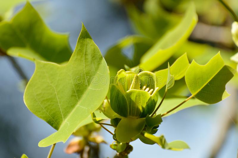Blooming Chinese tulip tree stock photos