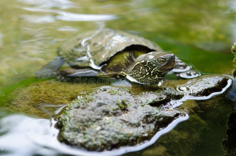 Chinese vijverschildpad, reevesii Mauremys stock foto's