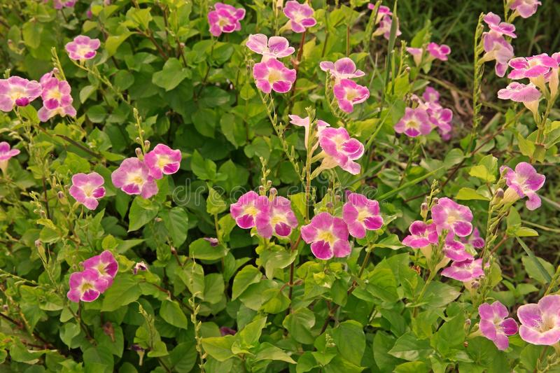 Chinese violet or coromandel or creeping foxglove. Ground cover plant and medical herb with beautiful flowers,Chinese violet or coromandel or creeping foxglove stock photography