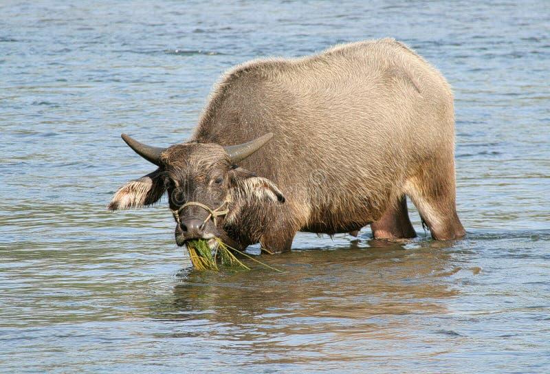 Download Chinese water buffalo stock photo. Image of buffalo, river - 2164410