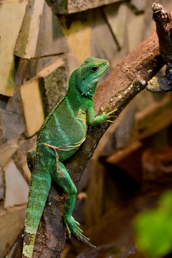 Chinese water dragon (Physignathus cocincinus). Chinese water dragon sitting on the branch with its skin peeling off, it is a species of agamid lizard stock photos