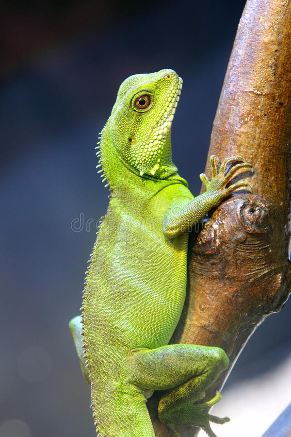 Download Chinese Water Dragons stock photo. Image of wildlife - 23670878
