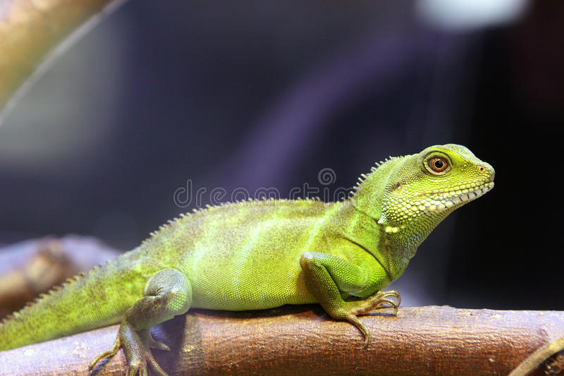 Download Chinese Water Dragons stock photo. Image of tropical - 23670940