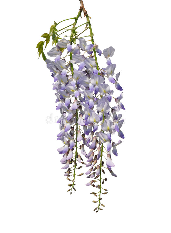 Chinese wisteria (Wisteria sinensis). Colorful and crisp image of chinese wisteria (Wisteria sinensis stock photos