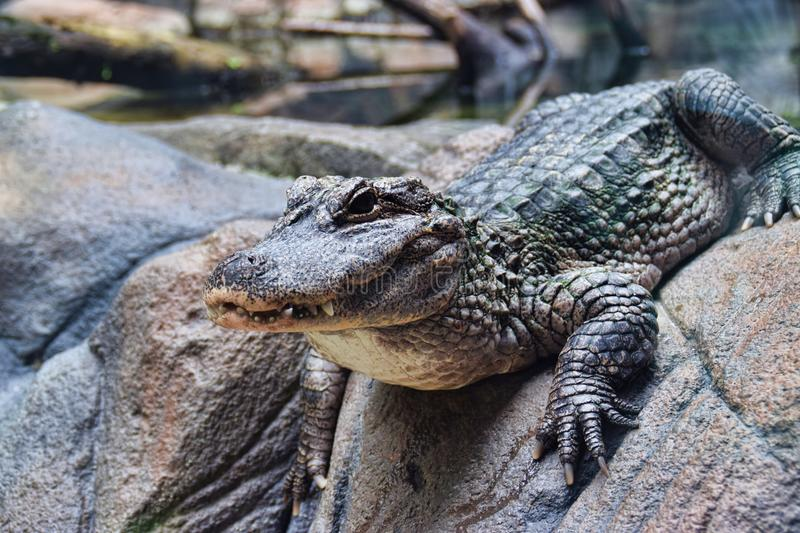 Chinese Yangtze Alligator. The Yangtze alligator can grow up to 40 kg and 2 m long royalty free stock images